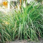 Lemongrass Plant Growing Conditions
